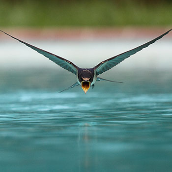A swallow (Hirundo rustica) drinking while flying over a swimming pool [Nicolas Sanchez] (CC BY-SA 3.0)